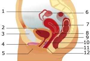 Les organes sexuels